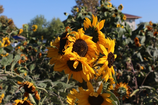 Sunflowers at the pumpkin patch.